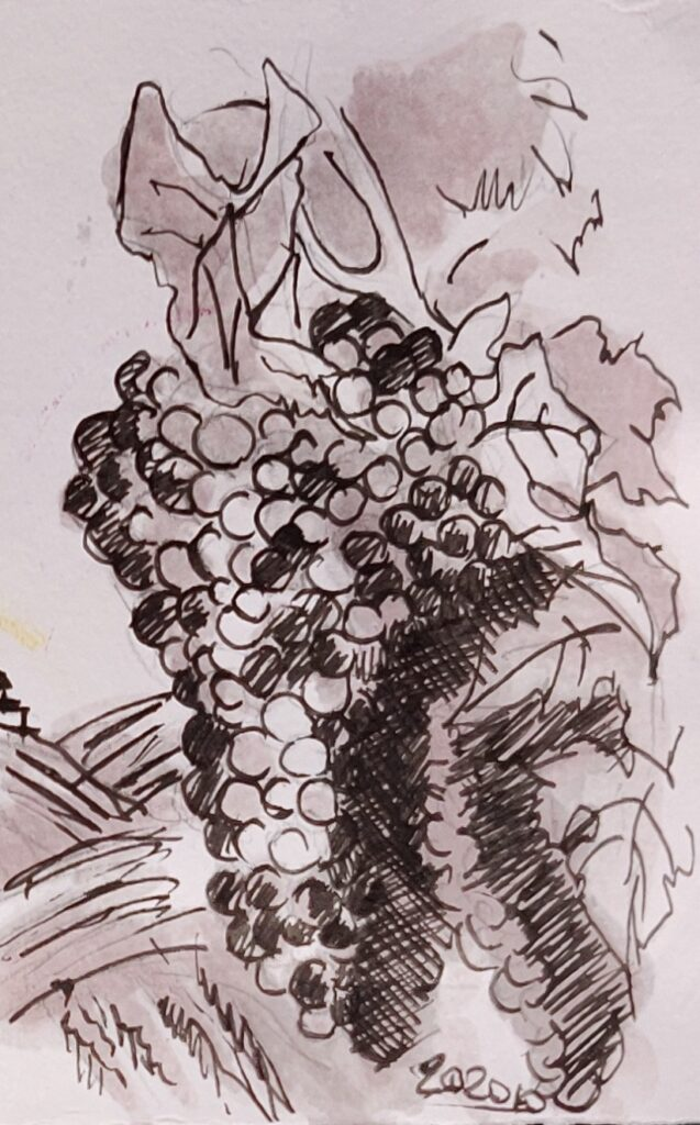 grapes barbera watercolor with Barbera red wine