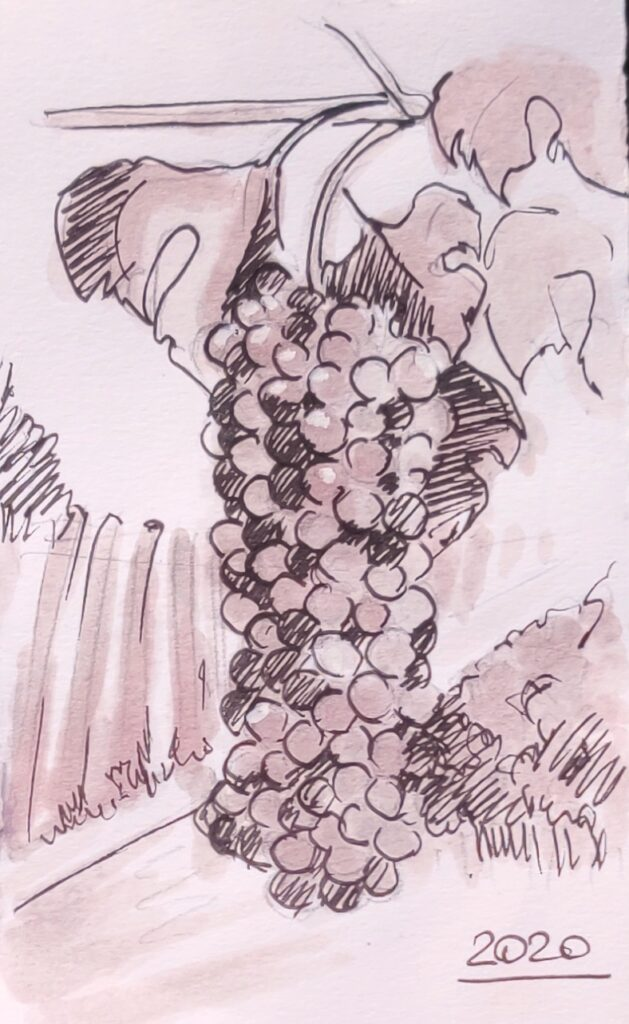 grapes bonarda watercolor with Bonarda red wine